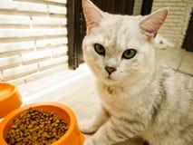 Um gato e uma alimentação Fotos de Stock Royalty Free