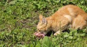 Um gato está comendo a carne imagem de stock