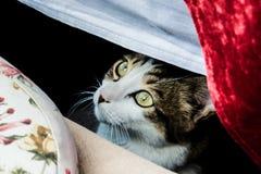Um gato está olhando fixamente debaixo de uma tabela imagens de stock
