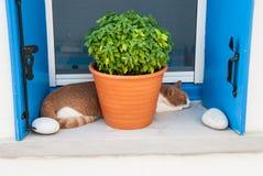 Um gato está tomando uma sesta na janela perto de um potenciômetro com manjericão Fotografia de Stock Royalty Free