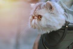 Um gato exótico em uns bolsos curtos da pele E o proprietário tomou-o à vila foto de stock royalty free
