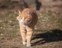 Um gato gordo bonito apenas recupera de uma sesta Imagens de Stock