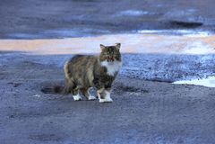 Um gato grande manchado está na terra cinzenta da estrada imagens de stock