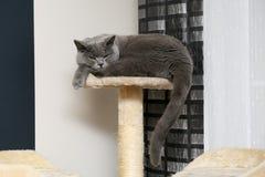 Um gato ingl?s est? descansando em seu lugar favorito e est? bocejando mostrando os dentes fotografia de stock royalty free
