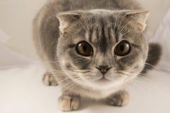 Um gato listrado cinzento curioso, macro imagens de stock