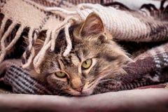 Um gato listrado macio está sob a manta Tenha um rest_ agradável fotos de stock