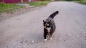 Um gato manchado bonito com olhos expressivos est? andando ao longo da estrada que olha exatamente na c?mera Um animal gracioso F video estoque