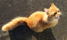 Um gato miando Imagens de Stock Royalty Free