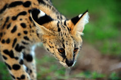 Um gato muito bonito do serval Fotos de Stock