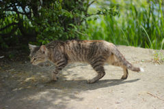 Um gato na caça antes do ataque Imagem de Stock Royalty Free