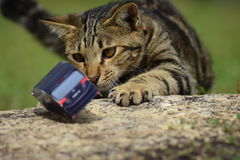 Um gato novo está jogando com um toycar Fotografia de Stock Royalty Free