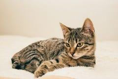 Um gato novo que descansa em uma manta Imagem de Stock