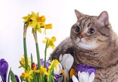 Um gato olha açafrões e narcisos amarelos Imagens de Stock Royalty Free