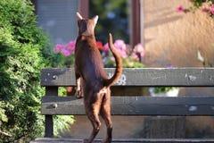 Um gato oriental marrom escalou em um banco Fotos de Stock