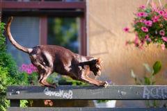 Um gato oriental marrom escalou em um banco Foto de Stock