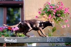 Um gato oriental marrom escalou em um banco Imagem de Stock
