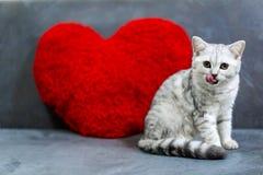 Um gato pequeno bonito, dobra escocesa do gato malhado da prata do cabelo curto, sentando-se no sofá preto que olha uma câmera, l imagens de stock royalty free