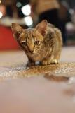 Um gato pequeno olha-me fotos de stock
