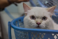 Um gato persa de olhos brilhantes Fotos de Stock Royalty Free