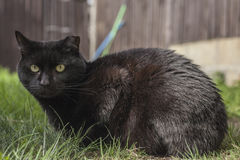 Um gato preto Foto de Stock Royalty Free