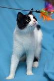 Um gato preto e branco bonito Fotos de Stock Royalty Free