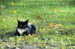Um gato preto e branco calmo fotos de stock royalty free