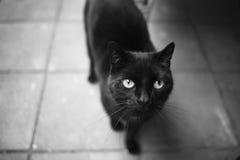 Um gato preto está olhando acima Fotos de Stock Royalty Free
