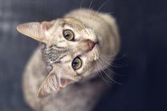 Um gato que olha acima na câmera Fotografia de Stock