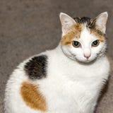 Um gato que olha a câmera com olhos piercing Fotografia de Stock Royalty Free