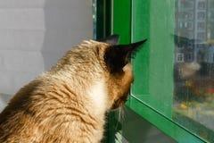 Um gato Siamese ou tailandês olha para fora a janela fora da casa Fotos de Stock