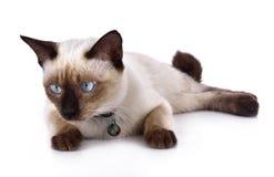 Um gato tailandês é um gato siamese tradicional ou antiquado Imagens de Stock