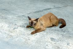 Um gato tailandês bonito, chama o gato siamese que olha a câmera faz uma cara sonolento com cimento pavimentar o fundo, foco sele imagens de stock royalty free