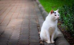 Um gato tailandês branco Imagem de Stock Royalty Free