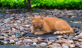 Um gato tailandês marrom Fotos de Stock