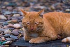 Um gato tailandês marrom Fotos de Stock Royalty Free