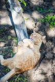 Um gato vermelho Fotos de Stock Royalty Free