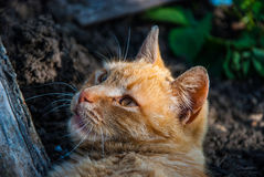 Um gato vermelho Foto de Stock Royalty Free