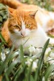 Um gato vermelho bonito encontra-se na primavera floresta perto dos pequenos trenós da neve Fotos de Stock Royalty Free