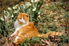 Um gato vermelho bonito encontra-se na primavera floresta perto dos pequenos trenós da neve Imagem de Stock