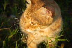 Um gato vermelho bonito na grama verde está olhando algo verão, por do sol, o animal é difícil de aquecer-se fotos de stock