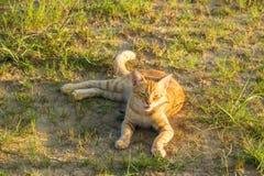 Um gato vermelho bonito na grama verde está olhando algo verão, por do sol, o animal é difícil de aquecer-se fotografia de stock