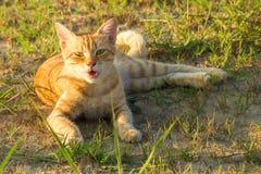 Um gato vermelho bonito na grama verde está olhando algo verão, por do sol, o animal é difícil de aquecer-se imagem de stock
