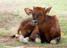 Um gaur do bebê Imagens de Stock