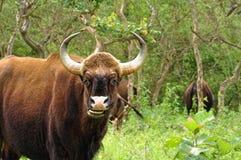 Um gaur selvagem Imagem de Stock Royalty Free