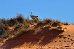 Um Gemsbok (gazella do Oryx) em Namíbia, África Imagem de Stock