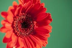 Um gerbera vermelho brilhante em um fundo verde de contraste Fotos de Stock