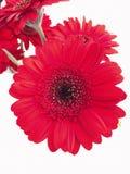 Um gerbera vermelho no close-up Fotos de Stock