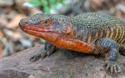 Um gigante chapeou o lagarto que expõe-se ao sol em uma rocha Imagens de Stock
