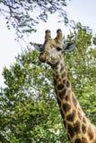 Um girafa com os olhos grandes do sono olha sobre foto de stock
