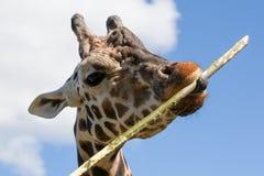 Comer do girafa Foto de Stock Royalty Free